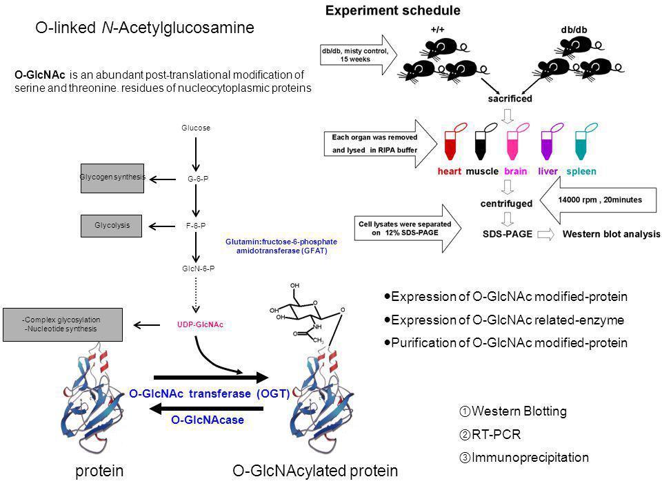 Glutamin:fructose-6-phosphate amidotransferase (GFAT)