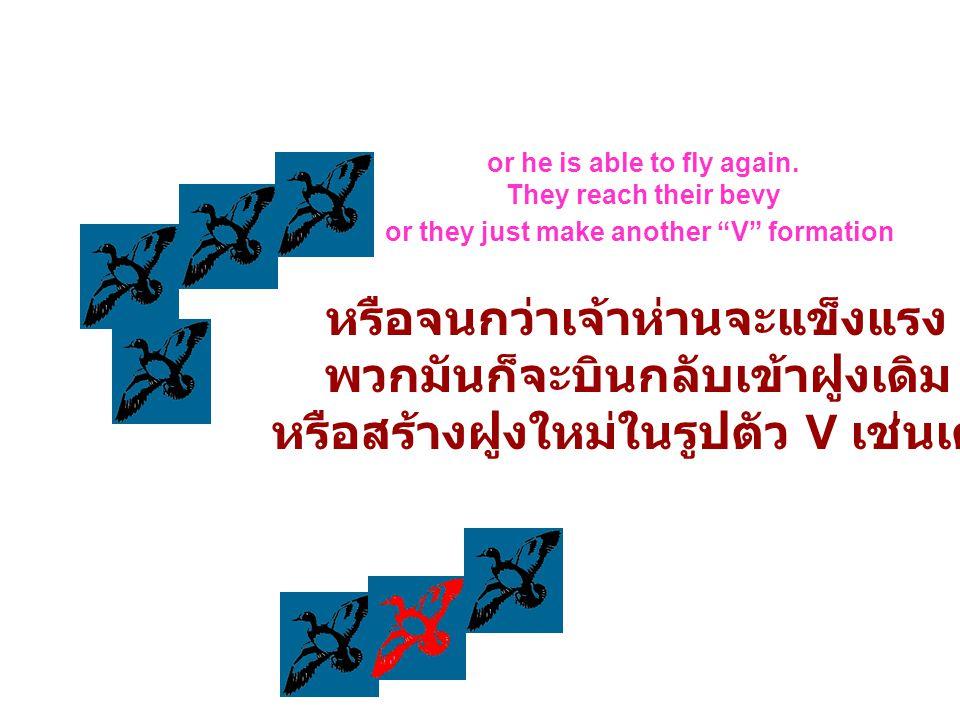 หรือจนกว่าเจ้าห่านจะแข็งแรง พวกมันก็จะบินกลับเข้าฝูงเดิม