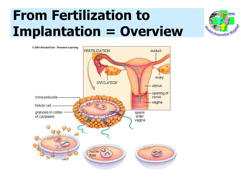 From Fertilization to Implantation = Overview