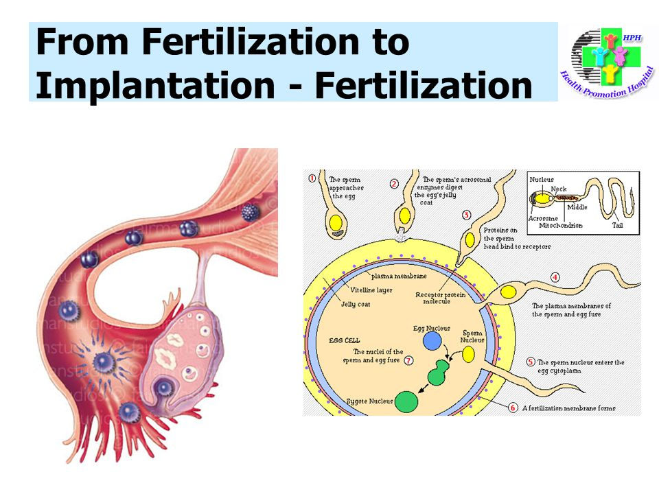 From Fertilization to Implantation - Fertilization