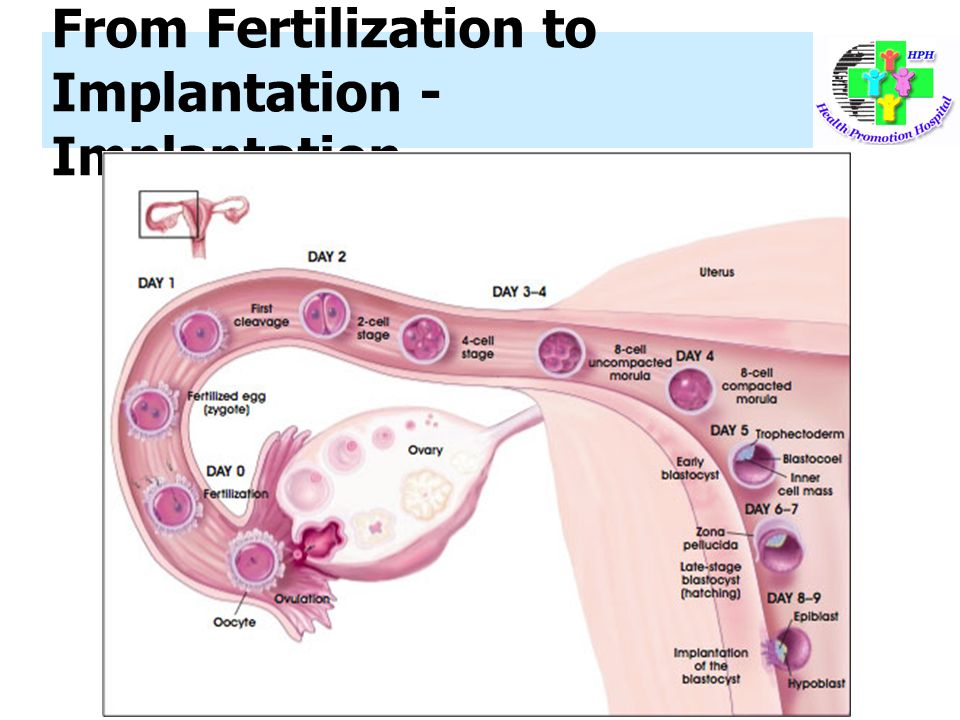From Fertilization to Implantation - Implantation