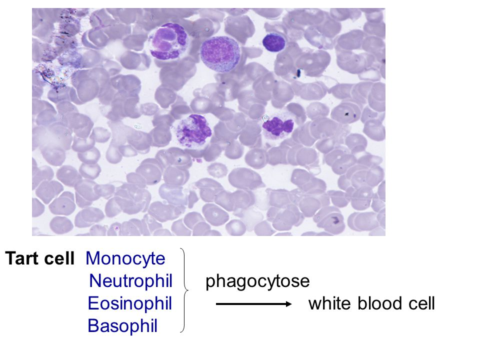 Tart cell Monocyte Neutrophil phagocytose Eosinophil white blood cell Basophil