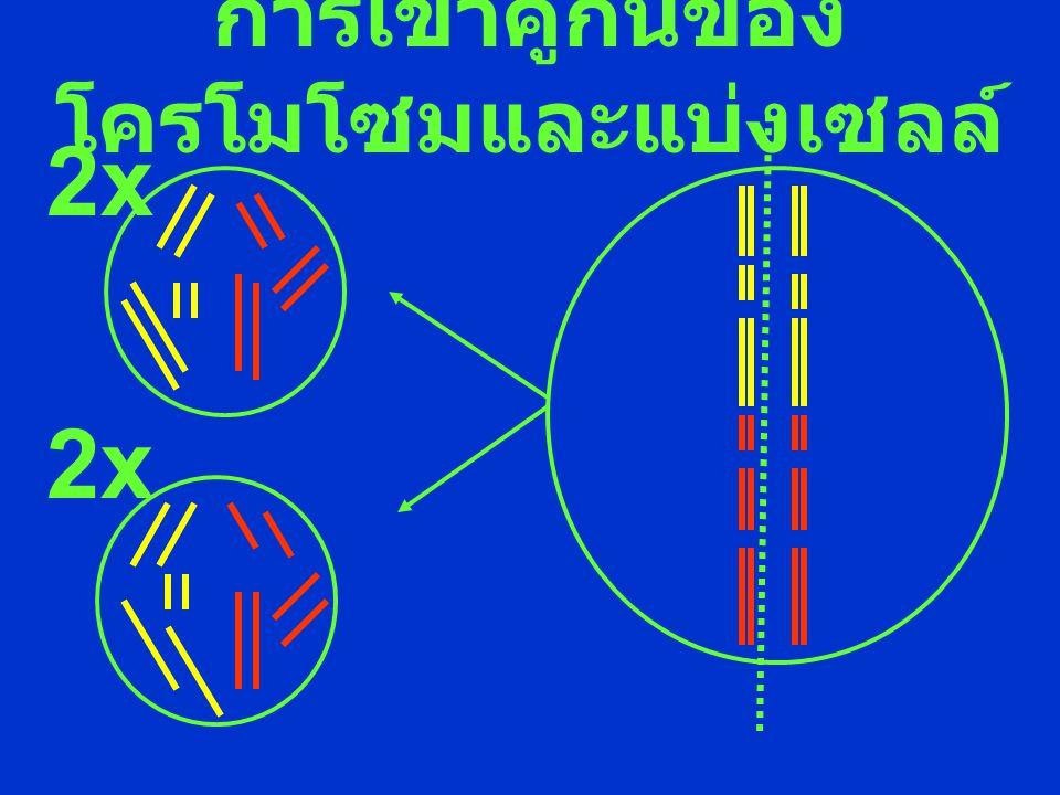 การเข้าคู่กันของโครโมโซมและแบ่งเซลล์