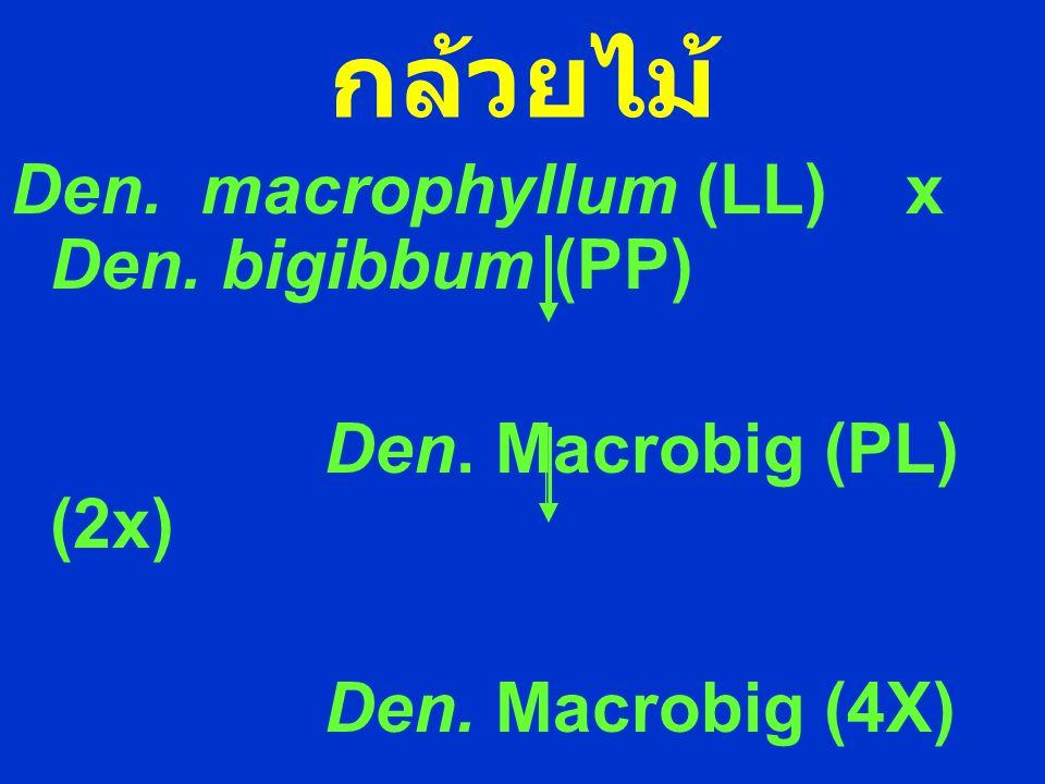 กล้วยไม้ Den. macrophyllum (LL) x Den. bigibbum (PP)