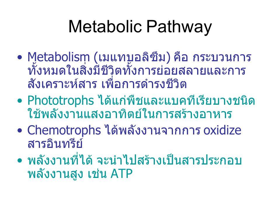 Metabolic Pathway Metabolism (เมแทบอลิซึม) คือ กระบวนการทั้งหมดในสิ่งมีชีวิตทั้งการย่อยสลายและการสังเคราะห์สาร เพื่อการดำรงชีวิต.