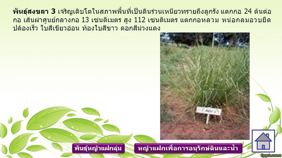 หญ้าแฝกเพื่อการอนุรักษ์ดินและน้ำ