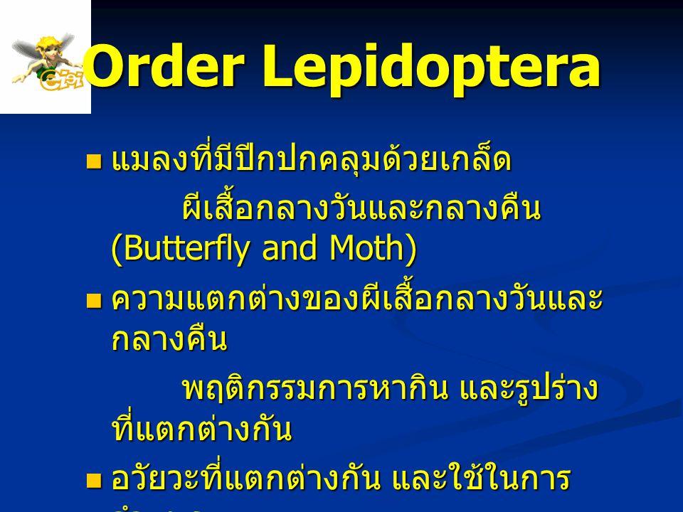Order Lepidoptera แมลงที่มีปีกปกคลุมด้วยเกล็ด