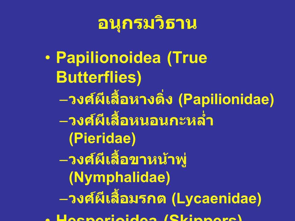 อนุกรมวิธาน Papilionoidea (True Butterflies) Hesperioidea (Skippers)