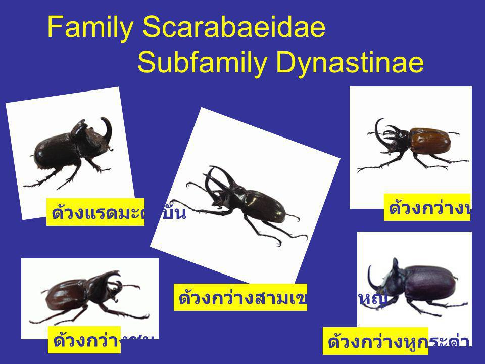 Family Scarabaeidae Subfamily Dynastinae