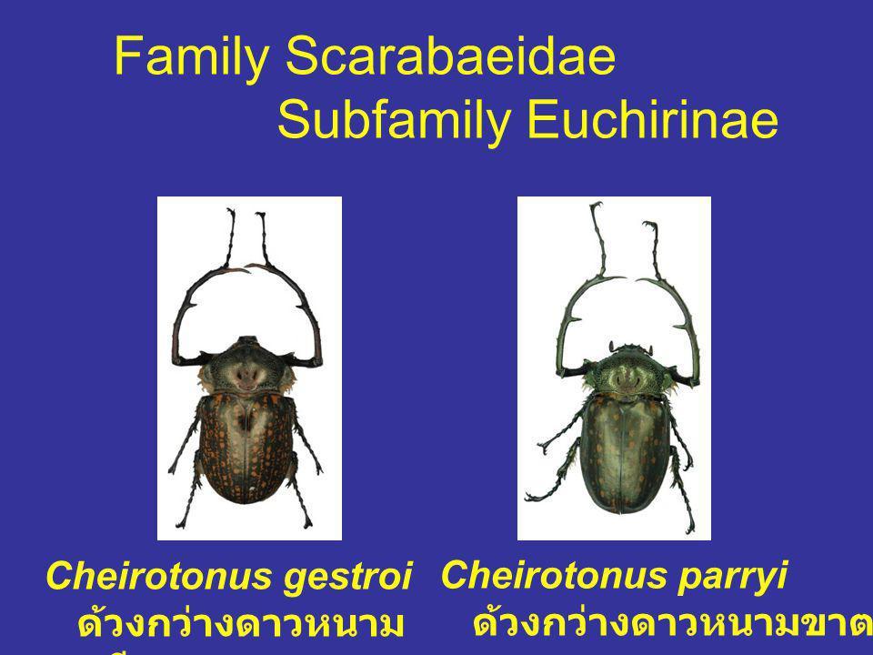 Family Scarabaeidae Subfamily Euchirinae