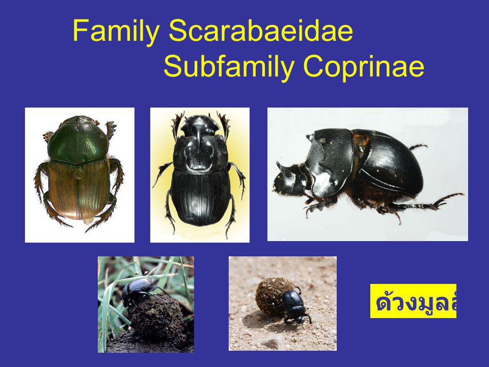 Family Scarabaeidae Subfamily Coprinae