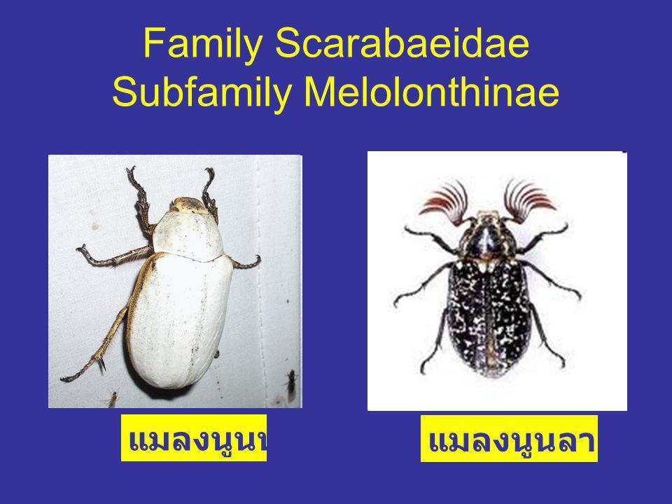 Family Scarabaeidae Subfamily Melolonthinae
