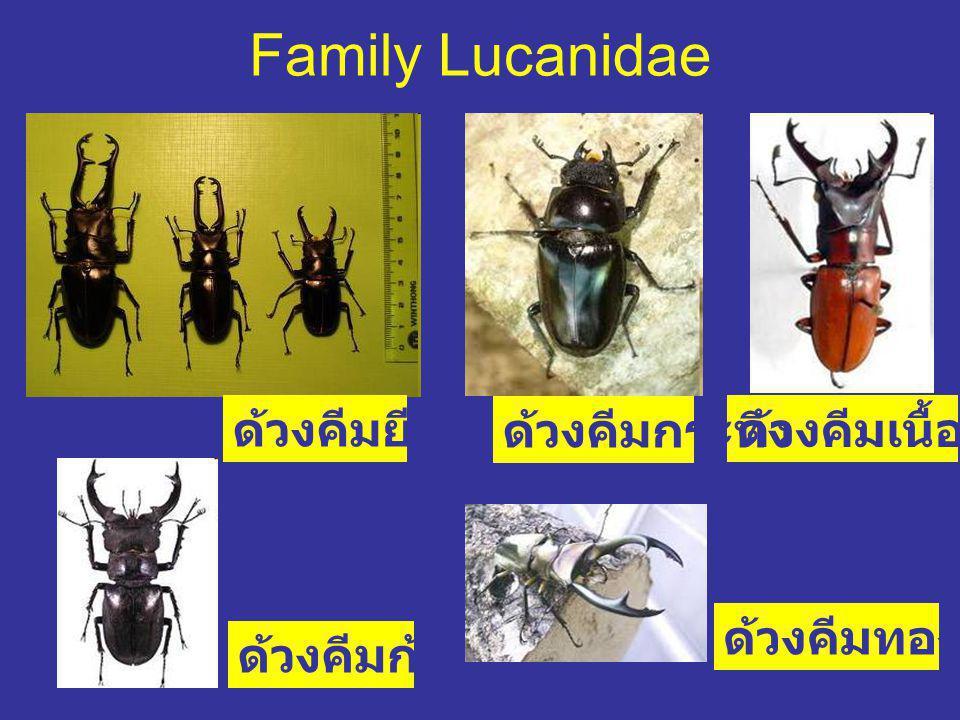Family Lucanidae ด้วงคีมยีราฟ ด้วงคีมกระทิง ด้วงคีมเนื้อทราย