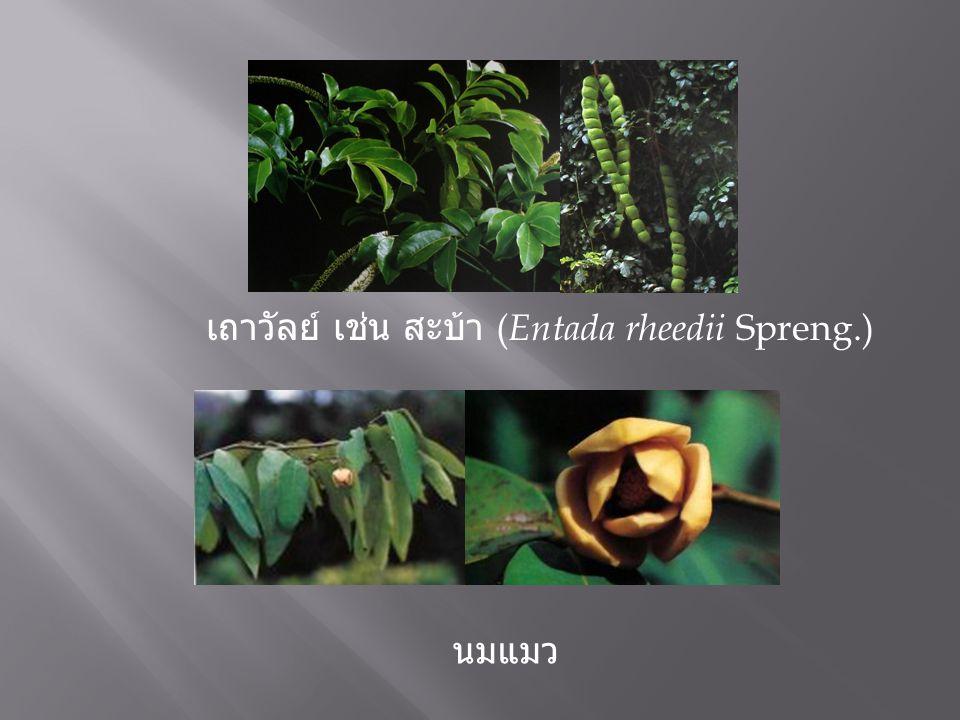 เถาวัลย์ เช่น สะบ้า (Entada rheedii Spreng.)
