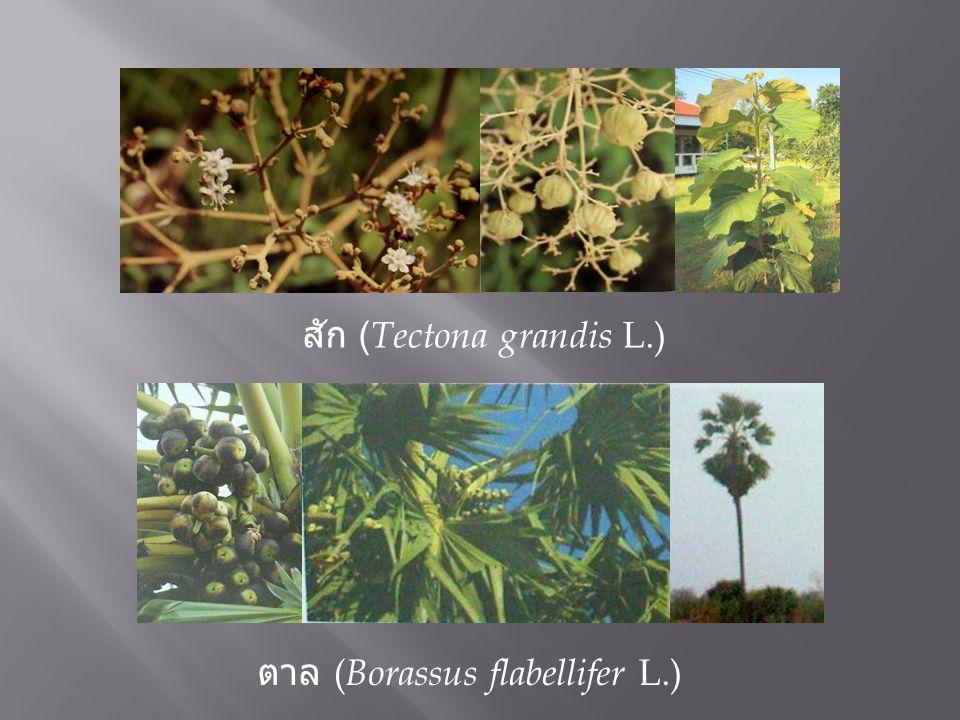 สัก (Tectona grandis L.)