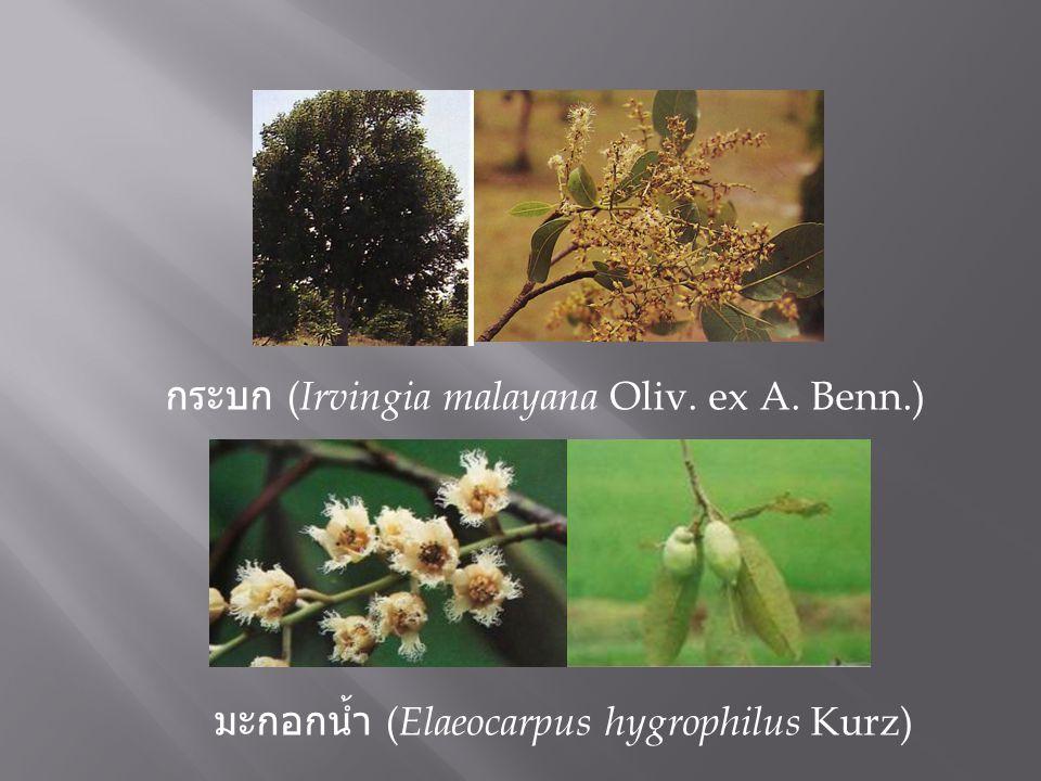 กระบก (Irvingia malayana Oliv. ex A. Benn.)
