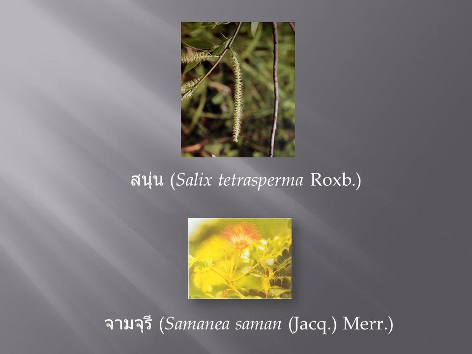 สนุ่น (Salix tetrasperma Roxb.)