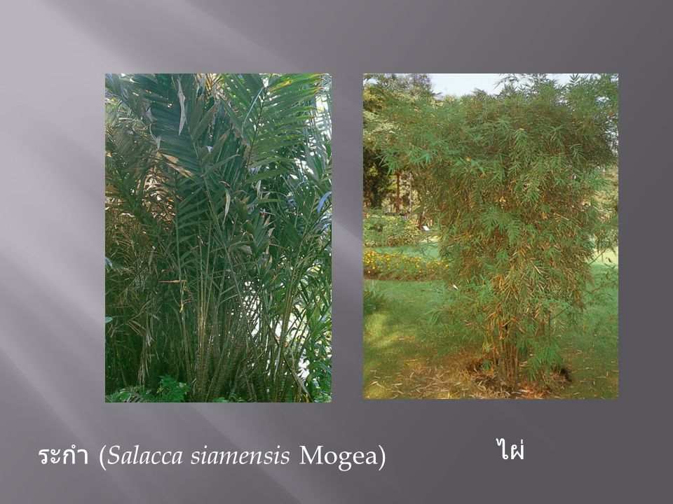 ไผ่ ระกำ (Salacca siamensis Mogea)