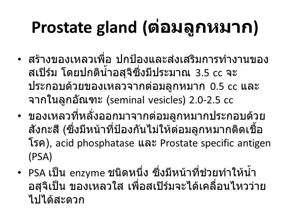 Prostate gland (ต่อมลูกหมาก)
