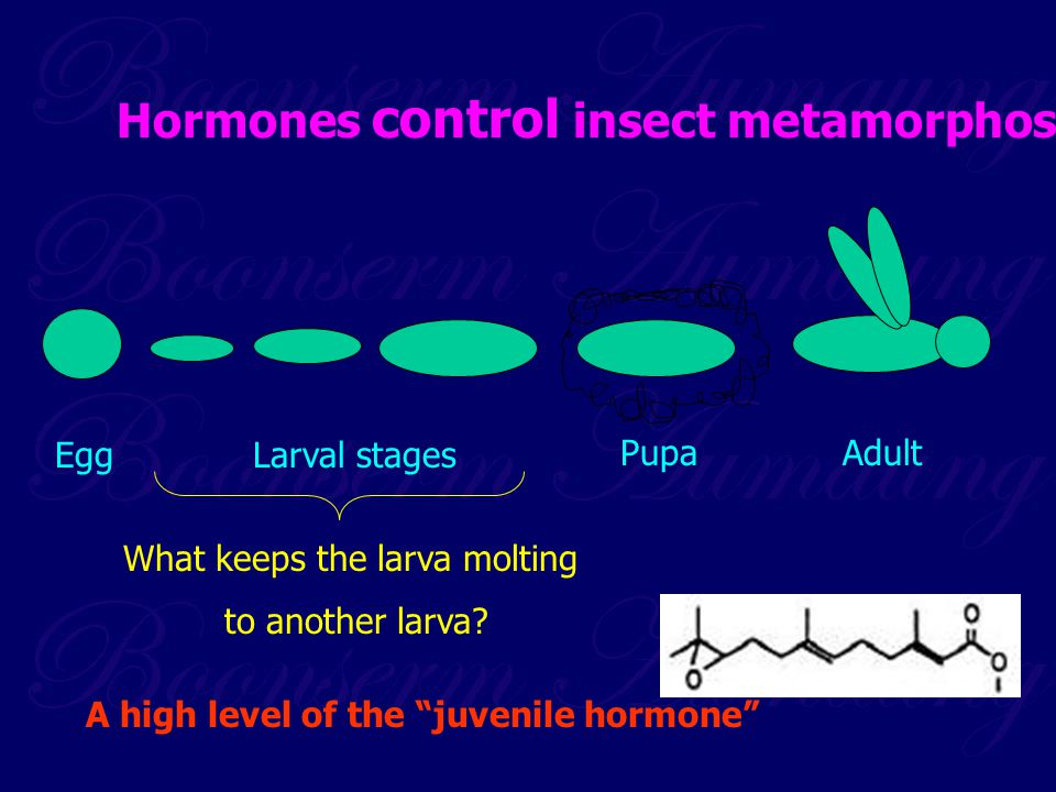 What keeps the larva molting