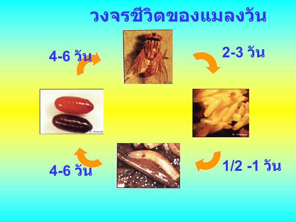วงจรชีวิตของแมลงวัน 2-3 วัน 4-6 วัน 1/2 -1 วัน 4-6 วัน