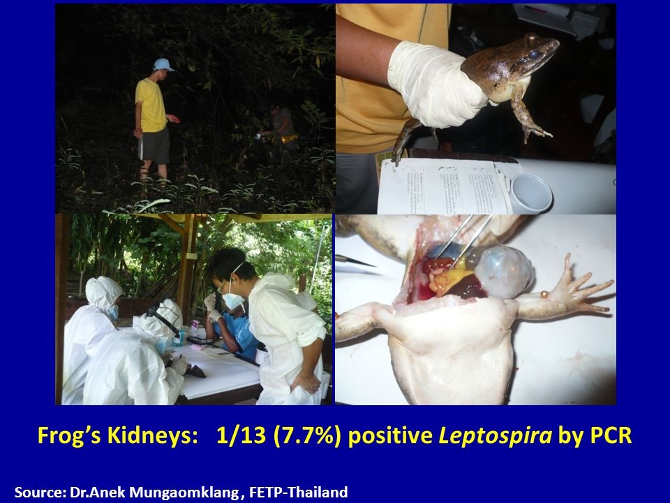 Frog's Kidneys: 1/13 (7.7%) positive Leptospira by PCR