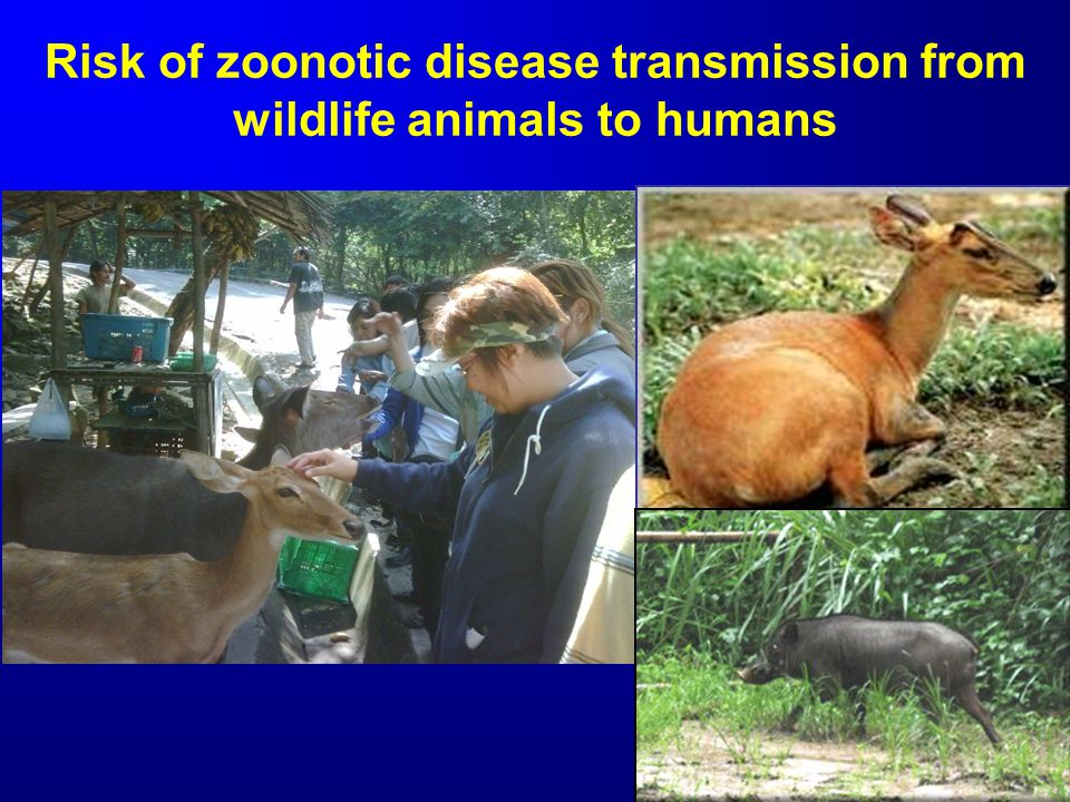 Risk of zoonotic disease transmission from wildlife animals to humans