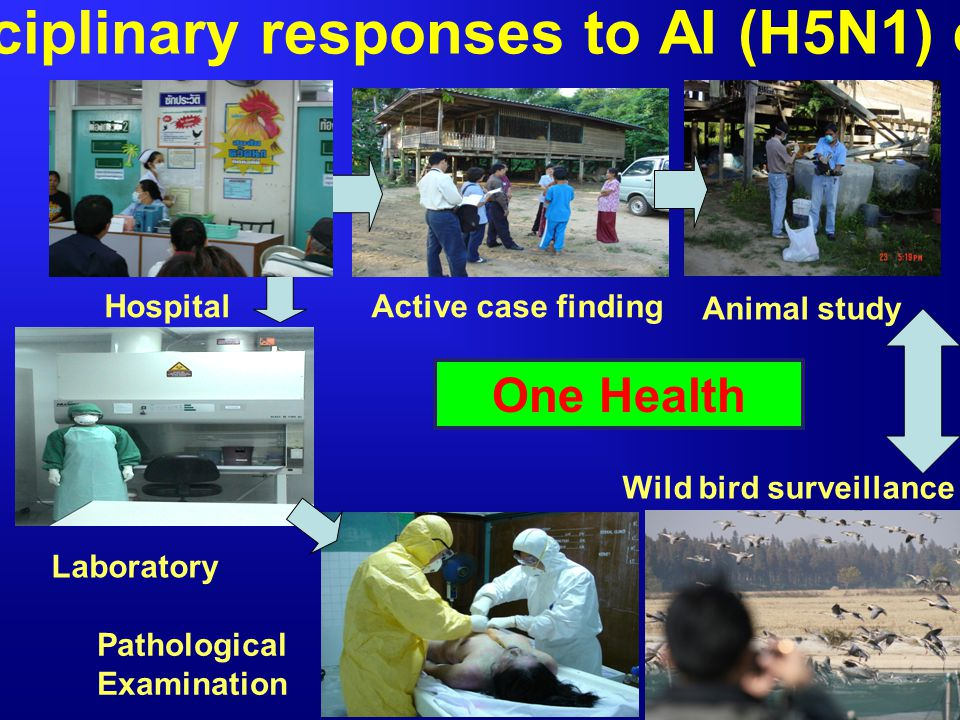 Multidisciplinary responses to AI (H5N1) epidemic
