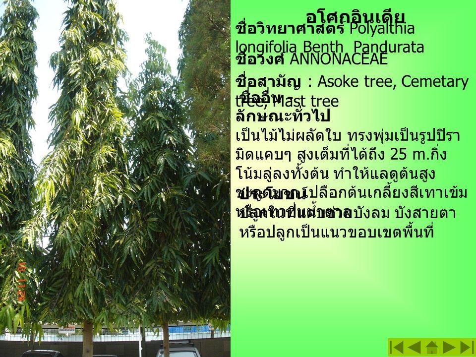 อโศกอินเดีย ชื่อวิทยาศาสตร์ Polyalthia longifolia Benth Pandurata