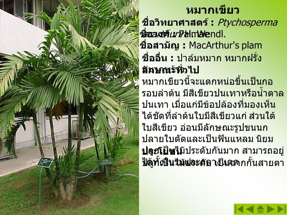 หมากเขียว ชื่อวิทยาศาสตร์ : Ptychosperma acarthurii H. Wendl.