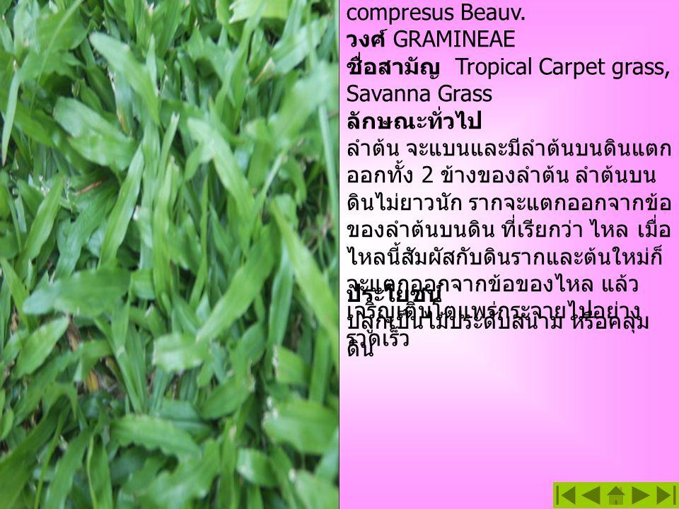 หญ้า Savanna ชื่อวิทยาศาสตร์ Axonopus compresus Beauv. วงศ์ GRAMINEAE