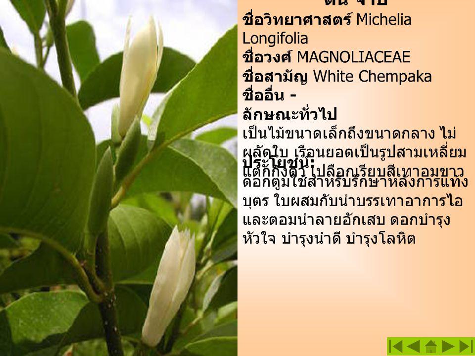 ต้น จำปี ชื่อวิทยาศาสตร์ Michelia Longifolia ชื่อวงศ์ MAGNOLIACEAE