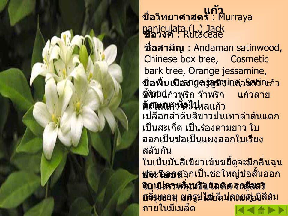 แก้ว ชื่อวิทยาศาสตร์ : Murraya paniculata (L.) Jack