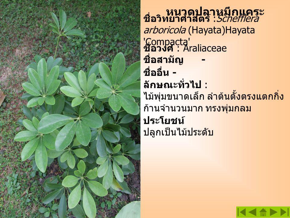 หนวดปลาหมึกแคระ ชื่อวิทยาศาสตร์ :Schefflera arboricola (Hayata)Hayata Compacta ชื่อวงศ์ : Araliaceae.