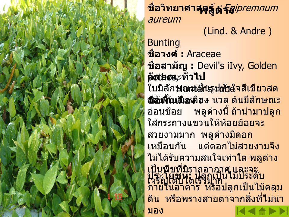 พลูด่าง ชื่อวิทยาศาสตร์ : Epipremnum aureum (Lind. & Andre ) Bunting