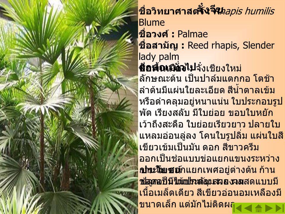 จั๋งจีน ชื่อวิทยาศาสตร์ : Rhapis humilis Blume ชื่อวงศ์ : Palmae