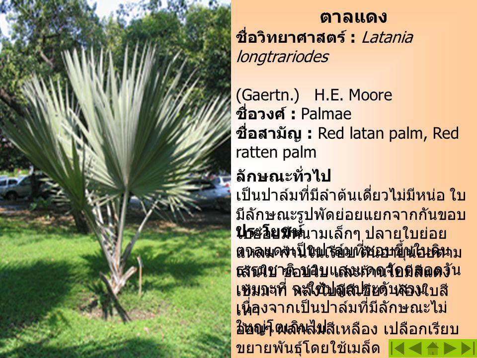 ตาลแดง ชื่อวิทยาศาสตร์ : Latania longtrariodes (Gaertn.) H.E. Moore