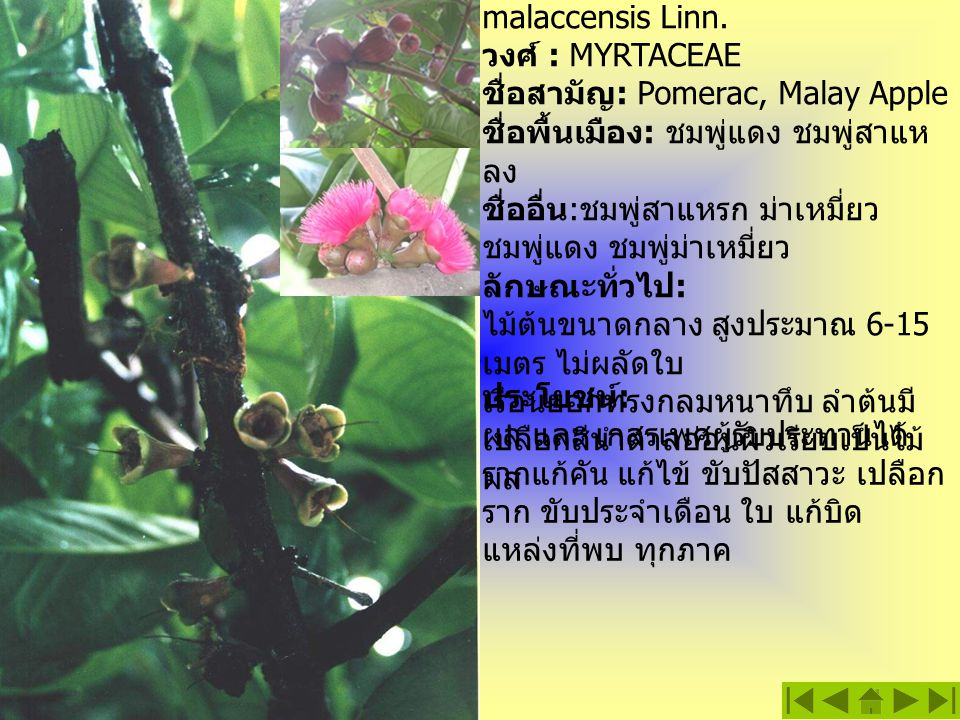 ชมพู่มะเหมี่ยว ชื่อวิทยาศาสตร์ : Eugenia malaccensis Linn.