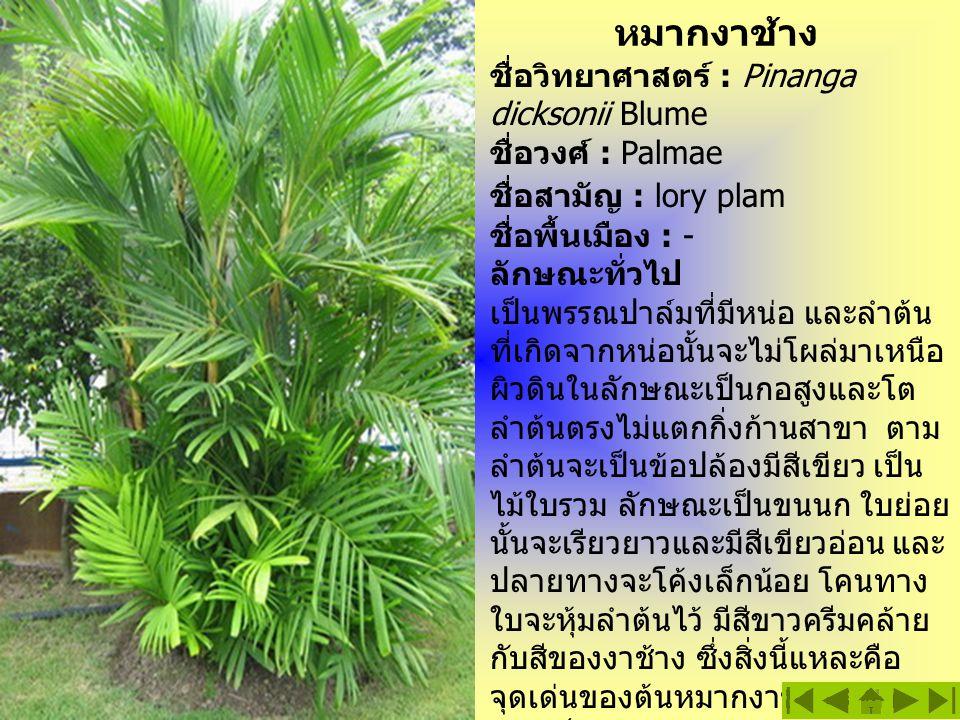 หมากงาช้าง ชื่อวิทยาศาสตร์ : Pinanga dicksonii Blume ชื่อวงศ์ : Palmae