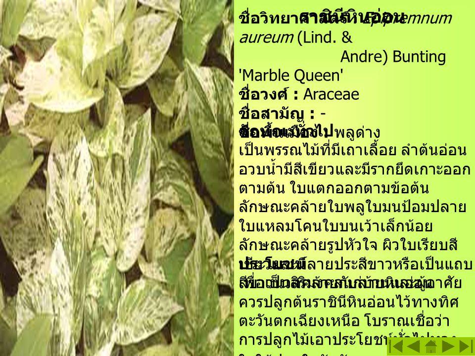 ราชินีหินอ่อน ชื่อวิทยาศาสตร์ : Epipremnum aureum (Lind. & Andre) Bunting Marble Queen