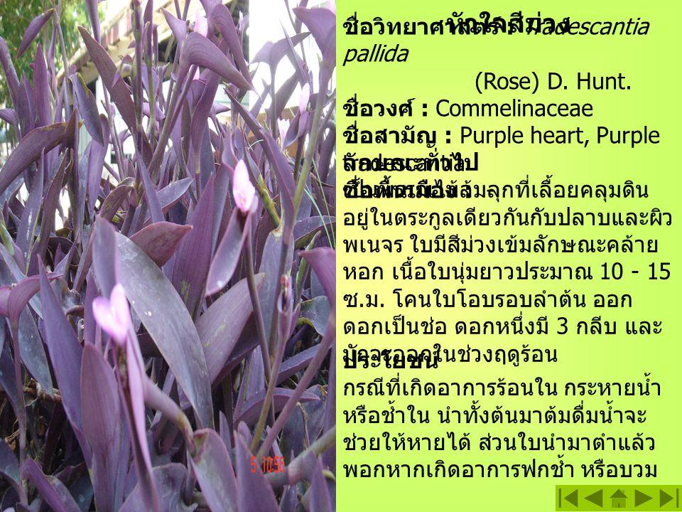หัวใจสีม่วง ชื่อวิทยาศาสตร์ : Tradescantia pallida (Rose) D. Hunt.