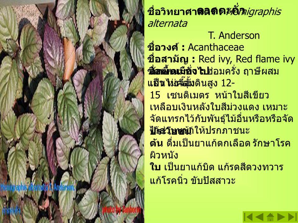 ดาดตะกั่ว ชื่อวิทยาศาสตร์ : Hemigraphis alternata T. Anderson