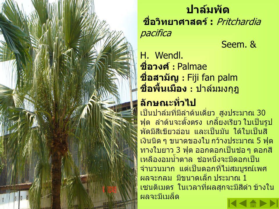 ปาล์มพัด ชื่อวิทยาศาสตร์ : Pritchardia pacifica Seem. & H. Wendl.