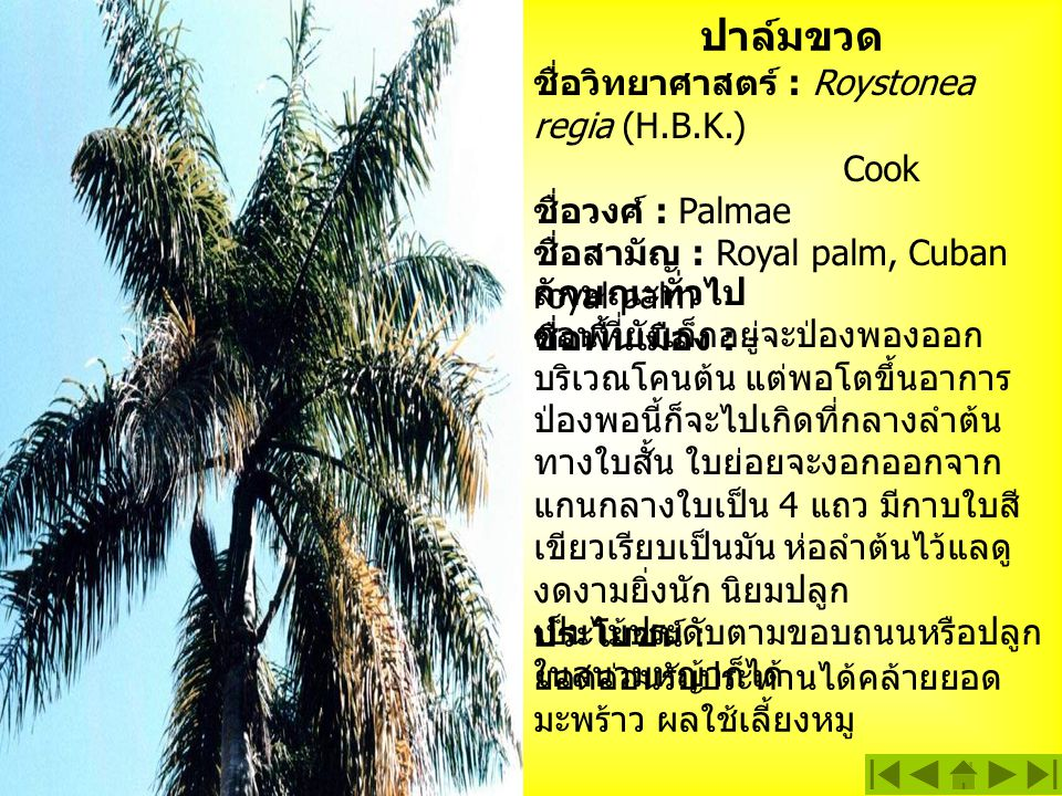 ปาล์มขวด ชื่อวิทยาศาสตร์ : Roystonea regia (H.B.K.) Cook