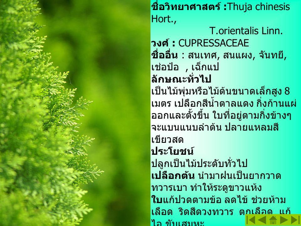 สนแผง ชื่อสามัญ : Oriental Arbor-Vitea
