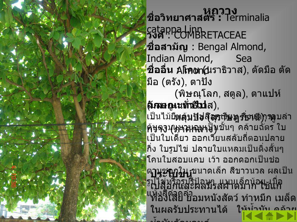 หูกวาง ชื่อวิทยาศาสตร์ : Terminalia catappa Linn. วงศ์ : COMBRETACEAE