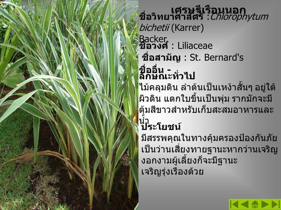 เศรษฐีเรือนนอก ชื่อวิทยาศาสตร์ :Chlorophytum bichetii (Karrer) Backer.