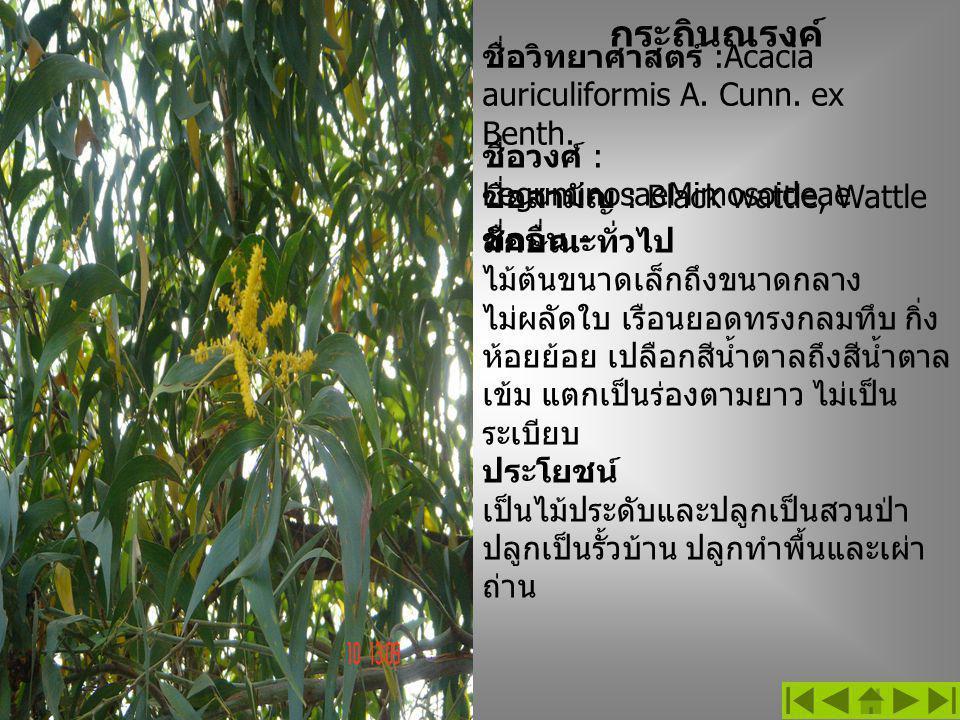 กระถินณรงค์ ชื่อวิทยาศาสตร์ :Acacia auriculiformis A. Cunn. ex Benth.