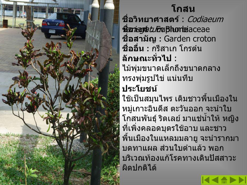 โกสน ชื่อวิทยาศาสตร์ : Codiaeum variegatum Blume