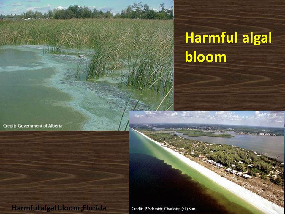 Harmful algal bloom Harmful algal bloom ;Florida